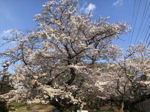 安本建設 桜